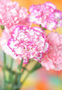 Carnations Royalty Free Stock Photos
