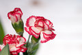 Carnations beautiful white red blossom Stock Images