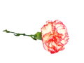Carnations isolated on white red yellow pink background Royalty Free Stock Photo