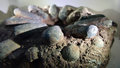 Carnivorous dinosaurs egg fossil Royalty Free Stock Photo