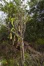 Carnivorous pitcher plant. Nepenthes albomarginata in the rainforest at Bako National Park Sarawak Borneo Malaysia Royalty Free Stock Photo