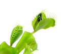 Carnivorous plant. Flytrap Royalty Free Stock Photo