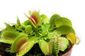 Carnivorous plant venus flytrap isolated Royalty Free Stock Images
