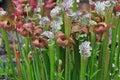Carnivorous Plants Royalty Free Stock Photo