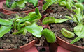Carnivorous Plants in pots Venus fly trap Royalty Free Stock Photo
