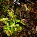 Carnivorous Venus Fly Trap Plants. Royalty Free Stock Photo
