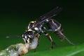Carnivorous Wasp Royalty Free Stock Photo