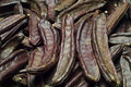 The Carob (Ceratonia siliqua) Royalty Free Stock Photo