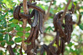 Carob ceratonia siliqua clusters of raw carobs on tree Royalty Free Stock Photography