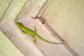 Carolina anole x american anole green anole x anolis carolinensis climbing the inside of a dirty white woodframe door jamb also Stock Photo