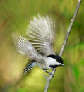 Carolina chickadee Fotografia Royalty Free