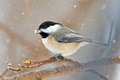 Carolina Chickadee Photographie stock libre de droits