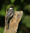 Carolina chickadee closeup of perched on stump Royalty Free Stock Photography