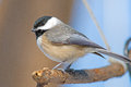 Carolina chickadee perched on a branch Royalty Free Stock Photography