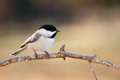 Carolina chickadee a perched in morning sunshine Stock Photos