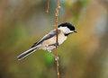 Carolina chickadee a small bird the against a colorful spring background poecile carolinensis posing nicely Stock Image