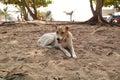 Carolina Dog At Naihan Beach