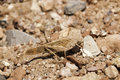 Carolina grasshopper in camouflage dissosteira carolina on red rocks and stones Stock Images