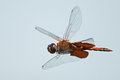 Carolina saddlebags dragonfly in flight Stock Photos