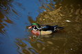 Carolina wood duck, South Africa Stock Image