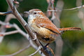 Carolina wren sitting branch Stock Photography