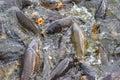 Carp feeding frenzy at Pymatuning Lake. Royalty Free Stock Photo