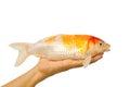 Carp fish, koi fish on hand Royalty Free Stock Photo