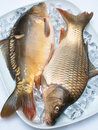 Carp on ice Royalty Free Stock Photography