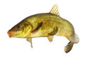Carp tench colored fish swimming free on white background Stock Photography