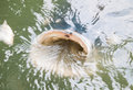 Carpa gigante che si alimenta in superficie dell acqua Immagine Stock Libera da Diritti
