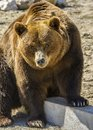 Carpathian bear Royalty Free Stock Photo