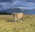 Carpathian cow is grazing in the mountains Stock Image