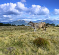 Carpathian cow is grazing in the mountains Royalty Free Stock Photo