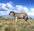 Carpathian cow is grazing in the mountains Stock Photos
