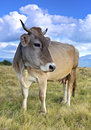 Carpathian cow is grazing in the mountains Stock Photo