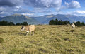 Carpathian cow is grazing in the mountains Royalty Free Stock Photography
