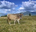 Carpathian cow is grazing in the mountains Stock Photography