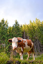 Carpathian curious cow in the pasture Royalty Free Stock Photo
