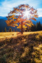 Carpathian Mountains. Autumn tree in the rays of the setting sun on a background of mountains. Royalty Free Stock Photo
