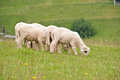 The carpathian scenery lambs pasturing on a hill Stock Photo