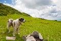 The Carpathian shepherd dog Royalty Free Stock Photo