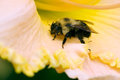 Carpenter bee on flower petal Royalty Free Stock Image