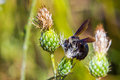 Carpenter bee large adult female foraging for nectar in white thistle plant Royalty Free Stock Photos