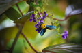 Carpenter bee are nectar from flowers Stock Images