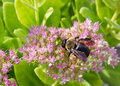 Carpenter Bee Pollinating a Pink Flower Stock Photo