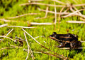 Carpenter frog bed moss Stock Photography