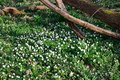 Carpet of anemones in forest white Stock Image