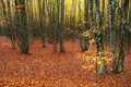 Carpet of autumn leaves in the forest Royalty Free Stock Image