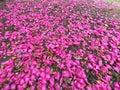 A carpet of Camellia petals Royalty Free Stock Photo