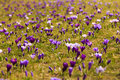 Carpet of crocuses in szczecin jasne blonia the beginning of spring in poland Royalty Free Stock Photography